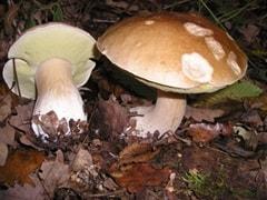 Funghi Sila